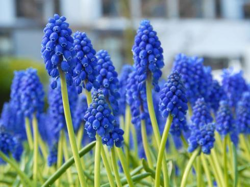 Bild fluwel.de: Muscari armeniacum schmückt sich in einem satten Marineblau.