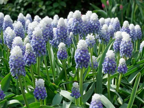 Bild fluwel.de: Die neue 'Mountain Lady' ist für das Beet absolut empfehlenswert: Jede Blumenzwiebel bringt mindestens fünf Stiele mit zweifarbigen Blütendolden hervor.