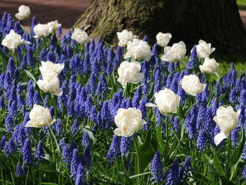 Bild fluwel.de: Muscari eignen sich wunderbar für eine elegante Kombination mit weiflen Tulpen an.