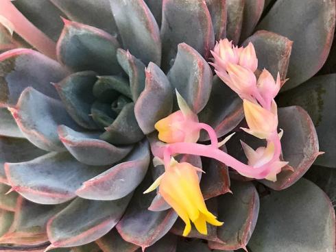 Bild garten.ch: Die Echevaria zeichnet sich aus durch fleischige Blätter. Ein idealer Wasserspeicher für trockene Zeiten.