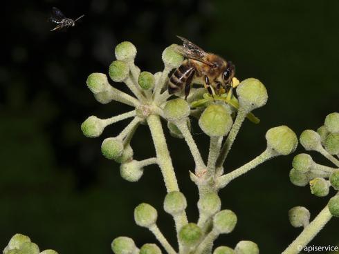 Bild apiservice: Honigbiene auf Efeublühte