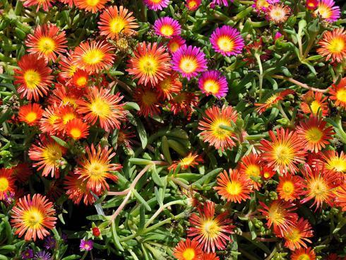 Bild garten.ch: Eisblumen sind dankbare Blüher