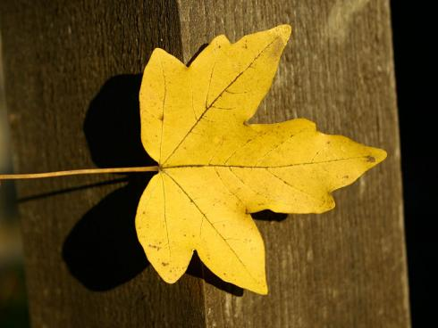 Bild: @ garten.ch Feldahorn, beliebter Gartenbaum, die Blätter lassen sich gut kompostieren.