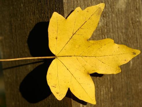 Bild garten.ch: Meistens eine gute Wahl. Einheimische Gehölze, die wenig Wasser benötigen, hier Feldahorn in Herbstfärbung.