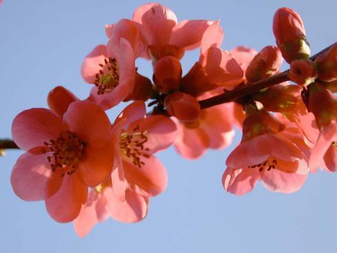 Bild: garten.ch Feuerbusch ein leuchtender Frühjahrsbote