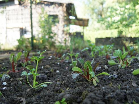 Pixabay: Gemüsegarten, je nach Frostempfindlichkeit des Gemüses kann schon früh ausgepflanzt werden.