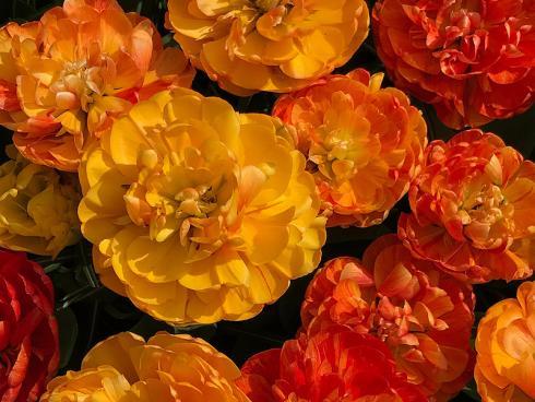 Bild garten.ch: Gefüllte Tulpe