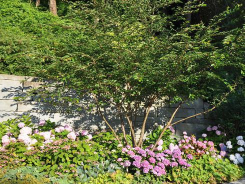 Bild garten.ch: Mehrstämmiges Schirmgehölz mit Hortensien als Unterpflanzung