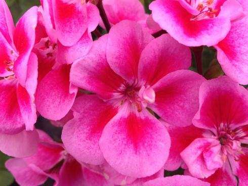 Bild garten.ch: Geranien sind der Klassiker unter den Balkonblumen. Einach im Unterhalt, robust bezüglich Wasserhaushalt und Wuchsform aufrecht oder hängend. Ideal für Einsteigerinnen und Einsteiger.