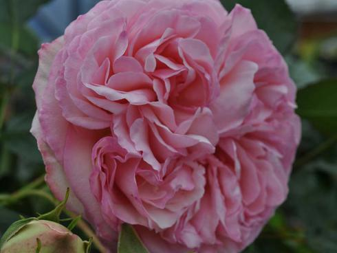 Robuste Neuzüchtungen können durchaus nostalgische Blüten haben, wie diese Eden Rose®85. Die wüchsige Strauchrose in klassischem Rosa blüht mehrfach im Jahr. (Bildnachweis: GMH/LVW)
