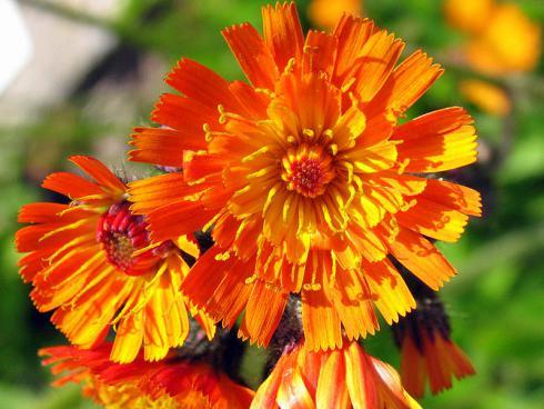 Bild GMH/Arno Panitz: Das Orangerote Habichtskraut (Hieracium aurantiacum) trägt seine auffällige Blütenfarbe bereits im Namen. Die bis zu 60 cm hohe Staude passt besonders gut in naturnah gestaltete Gärten.