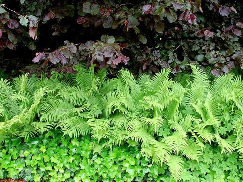Bild GMH/ Bettina Banse: Die frischgrünen hochaufragenden Farnwedel bilden einen schönen Kontrast zum breiten schwarzrote Laub der Blut-Buche (Fagus sylvatica 'Purpurea') und den glänzenden Efeublättern.