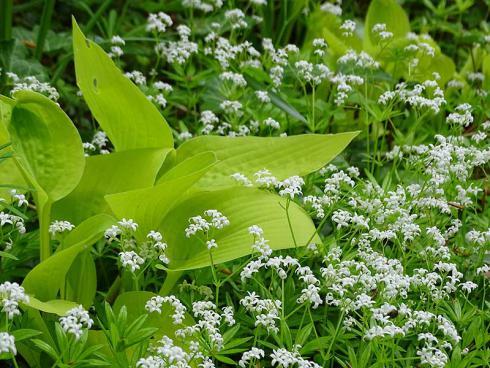 Waldmeister (Galium odoratum) ist ein reizvoller Bodendecker für halbschattige bis schattige Vorgärten sowie zur Unterpflanzung von Bäumen und Sträuchern – Erntegut für die Maibowle inklusive. (Bildnachweis: GMH/Bettina Banse)
