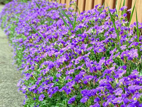 Das Blaukissen (Aubrieta) ist ein Klassiker für sonnige Standorte und in vielen Varianten erhältlich. Es lohnt sich, in der Gärtnerei nach besonderen Sorten Ausschau zu halten, etwa mit weiß gerandeten Blättern. (Bildnachweis: GMH/Bettina Banse)
