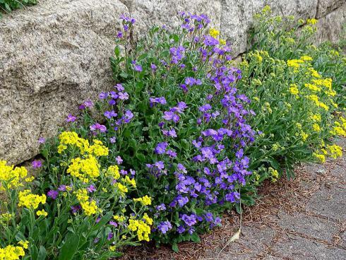 Steinkraut (Alyssum) und Blaukissen ergänzen sich farblich perfekt. Die anspruchslosen Stauden lieben volle Sonne und gedeihen in Mauerritzen ebenso wie im Blumenbeet. (Bildnachweis: GMH/Bettina Banse)