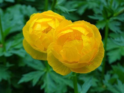 Wer hätte Trollen so viel Geschmack zugetraut! Die Trollblume (Trollius) ist eine wunderhübsch anzusehende Gute-Laune-Pflanze – geradezu ein Muss für sonnige Plätze mit feuchtem Boden. (Bildnachweis: GMH/Bettina Banse)