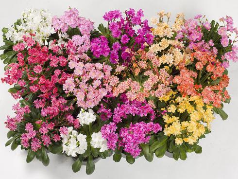 Bild GMH: Farbsorten gibt es in Pink, Rosa, Lachs, Violett, Orange, Weiss und Gelb.