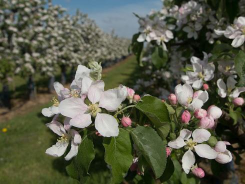 Bild GMH: Ein Traum in Rosa und Weiß: Etwa drei Wochen dauert das Schauspiel der Apfelblüte, das Touristen und auch Honig- und Wild-Bienen in die Anbauregionen wie das Alte Land und die Bodensee-Region lockt