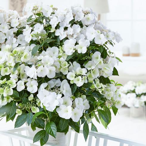 Girlanden-Hortensie «Runaway Bride» ein Allrounder für Garten, Terrassen und Balkone