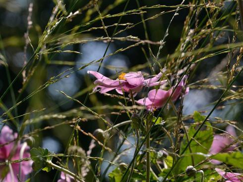 Spätsommer-Funkeln: Zarte Blütenähren der Gräser schmeicheln den plakativen Blüten der Herbst-Anemone. (Bildnachweis: GMH/Anne Eskuche)