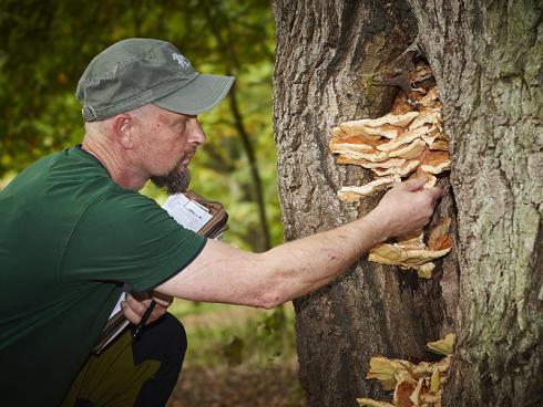 Verräterische Fruchtkörper: Pilzsucher freut der Anblick des Schwefelporlings, für den Baum jedoch bedeutet er oft das Aus – der holzzersetzende Pilz lässt die Windbruchgefahr massiv ansteigen. (Bildnachweis: GMH/Fachverband geprüfter Baumpfleger)