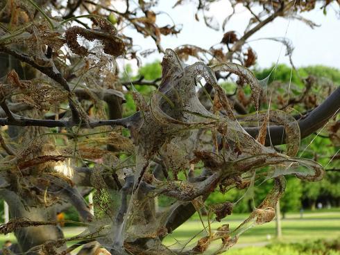 Entwarnung: Ein Befall mit Gespinstmotten (Foto) sieht dramatisch aus, ist aber weder für die menschliche Gesundheit, noch für gesunde Bäume ein Problem. (Bildnachweis: GMH/Fachverband geprüfter Baumpfleger)
