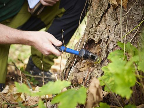 Klangprobe: Verdächtige Stellen werden mit dem Schonhammer abgeklopft. Der Klang liefert Hinweise auf fortgeschrittene Abbauprozesse und dadurch entstandene Hohlräume, die genauer untersucht werden müssen. (Bildnachweis: GMH/Fachverband geprüfter Baumpfleger)