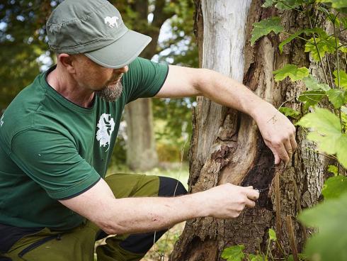 Spurensuche: Ein Blick unter die sich ablösende Rinde verrät Frank Rheinwald, wie weit das lebende Gewebe abgestorben ist, und wie der Baum auf den bestehenden Schaden reagiert – davon hängen etwaige Gegenmassnahmen ab. (Bildnachweis: GMH/Fachverband geprüfter Baumpfleger)