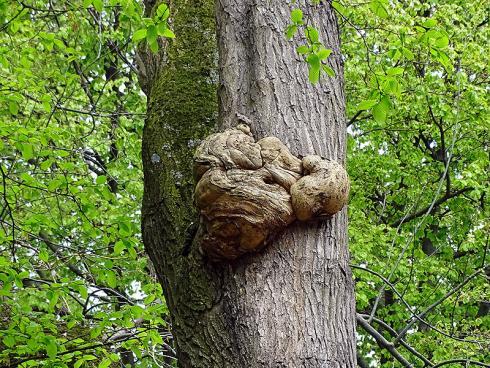 Kein Pilz: Maserknollen sind Wucherungen, die meist von Bakterien verursacht werden und in der Regel gutartig sind. Das Holz ist aufgrund der attraktiven Maserung sehr begehrt. (Bildnachweis: GMH/Fachverband geprüfter Baumpfleger)
