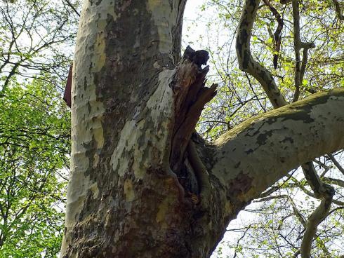 Erste Hilfe: Die Platane versucht, den Sturmschaden zu überwallen, scheitert jedoch am verbliebenen Aststummel. Wird er durch professionelle Baumpfleger entfernt, schliesst der Baum die Wunde im Nu. (Bildnachweis: GMH/Fachverband geprüfter Baumpfleger)