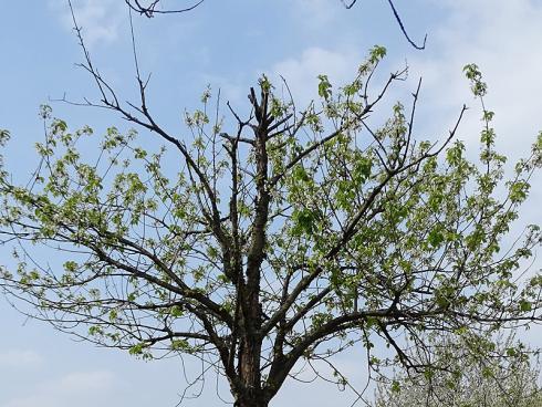 Verpasste Chance: Diesem Kirschbaum setzen weder Schädlinge noch Krankheit zu, sondern schlicht ein schlechter Standort. Mit einfachen Massnahmen zur Bodenverbesserung hätte man ihn retten können, doch nun taugt er nur noch als Kompost. (Bildnachweis: GMH/Fachverband geprüfter Baumpfleger)
