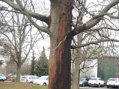 Ahorn-Sterben: Die Russrindenkrankheit rafft derzeit unzählige Ahorn-Bäume dahin. Die beste Prophylaxe ist ein guter Standort mit ausreichender Wasserversorgung. (Bildnachweis: GMH/Fachverband geprüfter Baumpfleger)