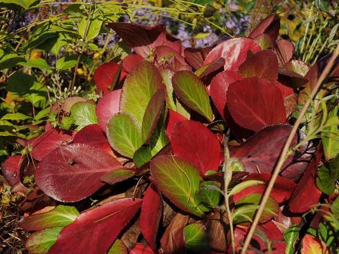 """Drachenglut: Die Herbstfärbung der Bergenie """"Pink Dragonfly"""" ist sensationell und umso intensiver, je sonniger die Pflanze steht. Ab April locken zudem aparte zartrosafarbene Blüten. (Bildnachweis: GMH/Gabriele Gieseler)"""