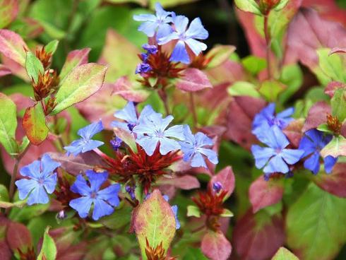 Farbenwunder: Die Chinesische Bleiwurz (Ceratostigma plumbaginoides) trägt von August bis in den Oktober hinein leuchtend blaue Blüten, ihr Laub verfärbt sich im Herbst tiefrot. Als trockenheitsverträglicher Bodendecker ist sie ebenso schön wie in Kästen und Kübeln. (Bildnachweis: GMH/Peter Behrens)