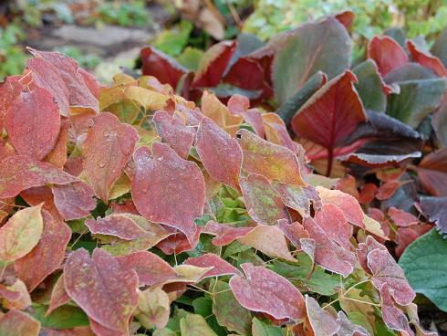 Zart bereift: Viele Elfenblumen (Epimedium) büssen selbst im Winter nichts von ihrer Eleganz ein – im Gegenteil, die aufziehende Kälte verleiht manchen Sorten leuchtend rot überhauchte Blätter. (Bildnachweis: GMH/Bettina Banse)