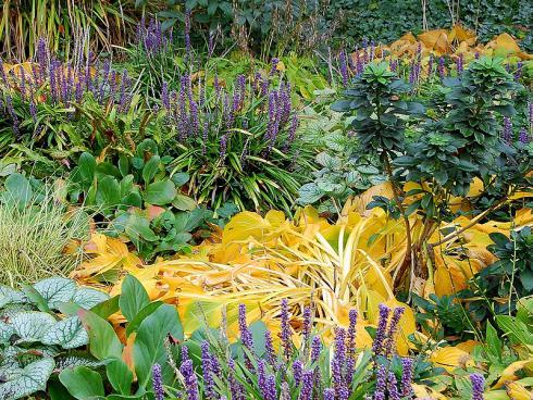 Zepter des Herbstes: In mythischem Blauviolett funkeln die Blüten der Lilientraube (Liriope muscari), und spielen ihre Farbe im Wechsel mit den gelb leuchtenden, herbstlich gewandeten Funkien aus. (Bildnachweis: GMH/Bettina Banse)