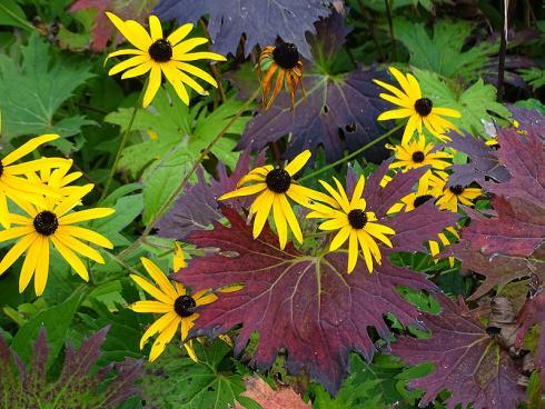 Dauerblüher: Selbst nach den ersten Frösten stellt der Sonnenhut (Rudbeckia) die Blüte nur widerwillig ein. Herrlich wirkt dazu das rot überlaufene Laub einer Ligularia. (Bildnachweis: GMH/Bettina Banse)