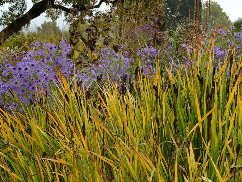 Kontrastreich: Kühler in der Anmutung, aber ungemein zauberhaft ist die Kombination aus violetten Astern und dem sich gelblich verfärbenden Laub der Wiesen-Schwertlilie (Iris sibirica). Deren Fruchtstände setzen wie Paukenschläge dunkle Akzente. (Bildnachweis: GMH/Anne Eskuche)
