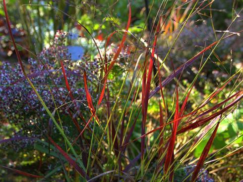 Aufgefächert: Hinter den auflodernden Spitzen der Rutenhirse (Panicum virgatum) türmen sich die Blüten einer Myrtenaster. (Bildnachweis: GMH/Bettina Banse)