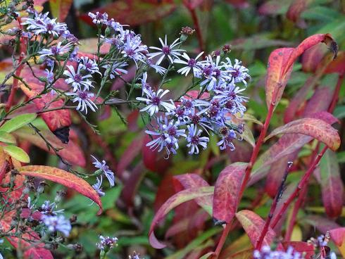Naturhafte Leichtigkeit: Die auch als Schleier-Aster bekannte Blaue Wald-Aster (Aster cordifolius) bringt ganze Wolken graziler Blütensterne hervor. Daneben begeistert die Himalaya-Wolfsmilch (Euphorbia griffithii) mit ihrer abwechslungsreichen Herbstfärbung. (Bildnachweis: GMH/Bettina Banse)