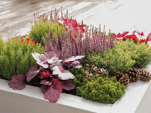 Bild GMH/Gartenbau Hetjens: Sie sorgen für Struktur: Im quadratischen Pflanzenkübel präsentieren sich Hebe kombiniert mit Besenheide (Calluna) und Purpurglöckchen (Heuchera) im Herbstlook.