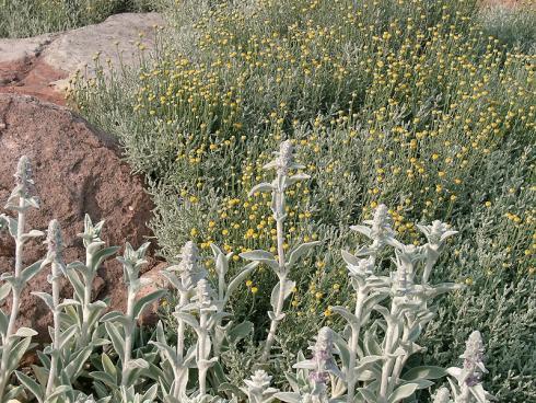 Silbriger Glanz: Der feine Flaum des Woll-Ziests (Stachys byzantina) und die silbrige Bereifung des Currykrauts (Helichrysum italicum) reflektieren einen Teil der Strahlung. (Bild: GMH/Bettina Banse)