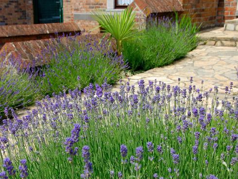 Die Côte d'Azur lässt grüssen: Lavendel sorgt für blaue Stunden ohne Giessstress. (Bild: GMH/Bettina Banse)