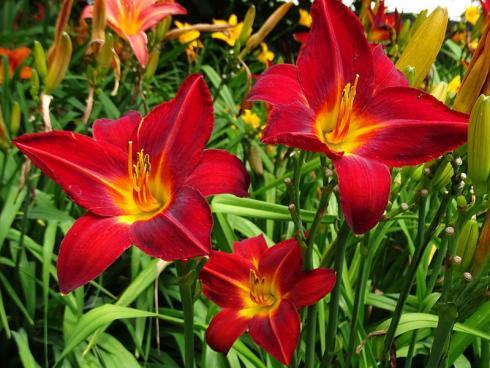 Knackig und praktisch: Bei Taglilien fällt die Ernte leicht, denn jede Blüte öffnet sich nur für einen Tag. (Bild: GMH/Bettina Banse)