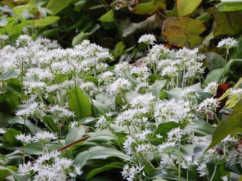 Trendsetter: Bärlauch ist ein wahres Aromawunder – und im eigenen Garten angebaut deutlich sicherer als aus Wildsammlungen. (Bild: GMH/Bettina Banse)