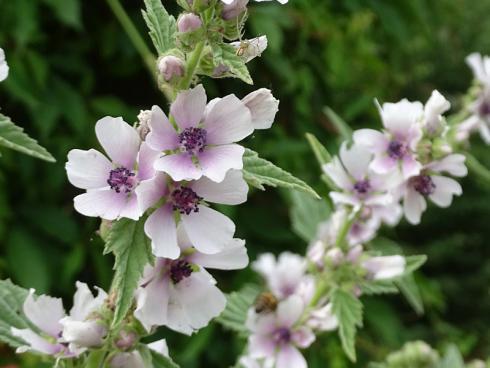 Willkommener Wegelagerer: Auch die Thüringer Strauchpappel (Althaea officinalis) geizt nicht mit ihren essbaren Blüten. Ein wunderschöner Blickfang in naturnah gestalteten Gärten. (Bild: GMH/Bettina Banse)