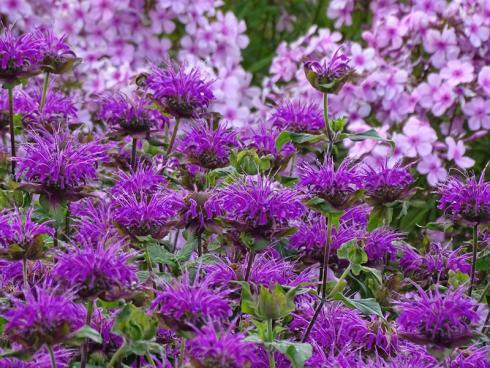 Extra-Kick: Indianernesseln liefern auch im Spätsommer noch unzählige Blüten – für Insekten oder verzuckert für leckere Desserts. Dazu passt rosafarbener Phlox, im Beethintergrund ebenso wie auf dem Teller. (Bild: GMH/Bettina Banse)