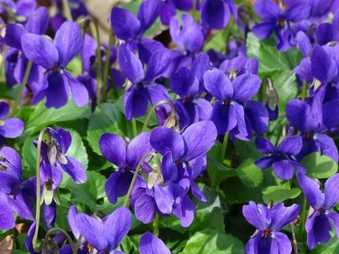 Zartes Parfum: Die Blüten der Duft-Veilchen schmecken so himmlisch wie sie duften. Kandiert sind sie eine wundervolle Deko für Torten, Cupcakes und Desserts. (Bild: GMH/Bettina Banse)