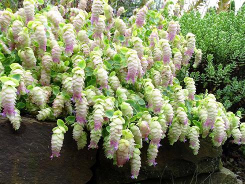 Exotischer Genuss: Die Blätter des Hopfen-Oreganos (Origanum rotundifolium) verleiht Pizzasauce ihr typisches Aroma, die Blüten sind eine extravagante essbare Dekoration. (Bild: GMH/Bettina Banse)