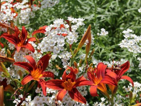 Zart trifft mondän Farblich drängen die Lilien mit Macht in den Vordergrund, doch gerade das hebt die leise Eleganz der Bertramsgarben (Achillea ptarmica) umso mehr hervor. Ein zauberhaftes Ensemble für Prachtstaudenbeete. (Bildnachweis: GMH/Andre Stade)
